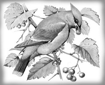 Картинки зимующих и перелетных птиц